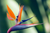 Bird of Paradise Flower Prints by Maria Mosolova
