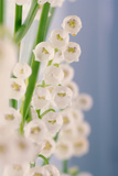 Lily of the Valley (Convallaria Majalis) Photographic Print by Maria Mosolova