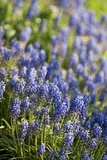 Grape Hyacinth (Muscari Armeniacum) Poster by Maria Mosolova