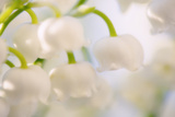 Lily of the Valley (Convallaria Majalis) Poster by Maria Mosolova