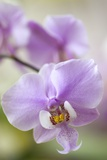 Orchid (Phalaenopsis Schilleriana) Prints by Maria Mosolova