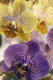 Orchid (Phalaenopsis Sp.) Photographic Print by Maria Mosolova