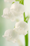 Lily of the Valley (Convallaria Majalis) Print by Maria Mosolova