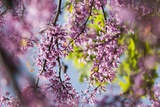 Cercis Canadensis 'Forest Pansy' Posters by Maria Mosolova