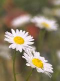 Shasta Daisies (Leucanthemum X Superbum) Photographic Print by Maria Mosolova