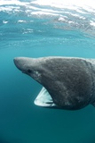 Basking Sharks Posters by Louise Murray