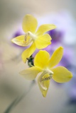 Orchid (Phalaenopsis) Photographic Print by Maria Mosolova