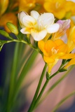 Freesia Sp Poster by Maria Mosolova