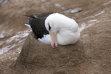 Black-browed Albatross Nesting Photographic Print by Charlotte Main