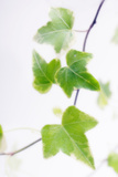 Ivy (Hedera Helix) Prints by Maria Mosolova