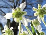 Galanthus Nivalis 'Flore Pleno' Photographic Print by Cordelia Molloy