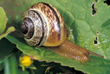 Land Snail Photographic Print by Chris Martin-Bahr