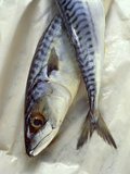 Mackerel Premium Photographic Print by David Munns