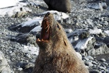 Antarctic Fur Seal Male Roaring Posters by Charlotte Main