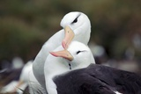 Black-browed Albatrosses Courting Prints by Charlotte Main
