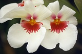 Orchid (Miltonia Sp.) Photo by Maria Mosolova