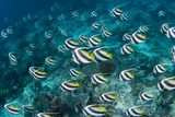 Schooling Bannerfish Photographic Print by Matthew Oldfield