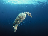 Green Turtle Photographic Print by Matthew Oldfield