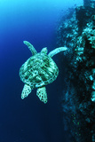 Green Turtle Photo by Matthew Oldfield