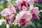 Orchid (Cattleya Sp.) Photographic Print by Maria Mosolova
