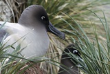 Light-mantled Sooty Albatross Nesting Poster by Charlotte Main