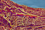 Blood Vessels In the Small Intestine, SEM Photographic Print by Susumu Nishinaga