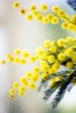 Mimosa (Acacia Dealbata) Papier Photo par Maria Mosolova