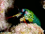 Mantis Shrimp Photo by Louise Murray