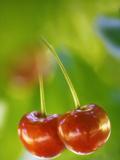 Sweet Cherry (Prunus Avium) Posters by Maria Mosolova