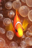Clownfish In Sea Anemone Prints by Louise Murray