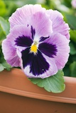 Pansy (Viola X Wittrockiana) Photo by Maria Mosolova