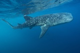 Whale Shark Photographic Print by Alexis Rosenfeld