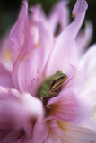Pacific Treefrog on a Dahlia Flower Prints by David Nunuk