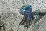Bobtail Squid on the Seabed Fotografisk tryk af Matthew Oldfield