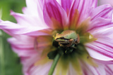 Pacific Treefrog on a Dahlia Flower Posters by David Nunuk