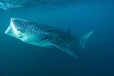 Whale Shark Prints by Alexis Rosenfeld