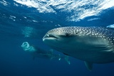 Whale Sharks Poster by Alexis Rosenfeld