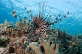 Lionfish Photographic Print by Matthew Oldfield