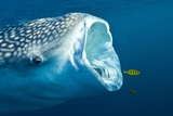Whale Shark Posters by Alexis Rosenfeld