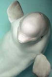 Beluga Whale, Delphinapterus Leucas Photographic Print by Ria Novosti