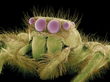 Jumping Spider, SEM Photographic Print by Susumu Nishinaga