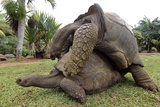 Galapagos Giant Tortoises Mating Poster by Ria Novosti