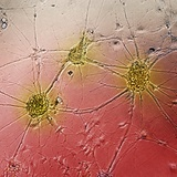 Nerve Cell Growth Photographic Print by Francois Paquet-Durand