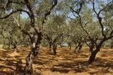 Olive Grove, Zante, Greece Fotografisk tryk af David Parker