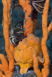Large Painted Frogfish Prints by Matthew Oldfield