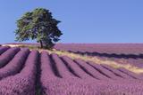 Field of Lavender Fotodruck von David Nunuk