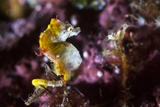 Pontohi Pygmy Seahorse Photographic Print by Matthew Oldfield