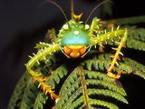 Cryptic Katydid Insect on a Fern Leaf Photographic Print by Dr. Morley Read