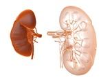 Kidneys, Artwork Posters by  PASIEKA