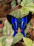 Butterfly Rhetus Sp. (Riodinidae) From Ecuador Fotodruck von Dr. Morley Read